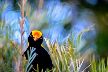 Geelnekprieelvogel (wild)