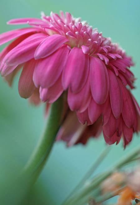 Knallend roze - Na mijn 'softe' serie even een ander soort foto met wat knallender kleuren. Hoewel... het softe kan ik niet helemaal laten. Ik hou er wel van.... Gr. - foto door andersonc op 28-03-2013 - deze foto bevat: roze, kleur, macro, bloem