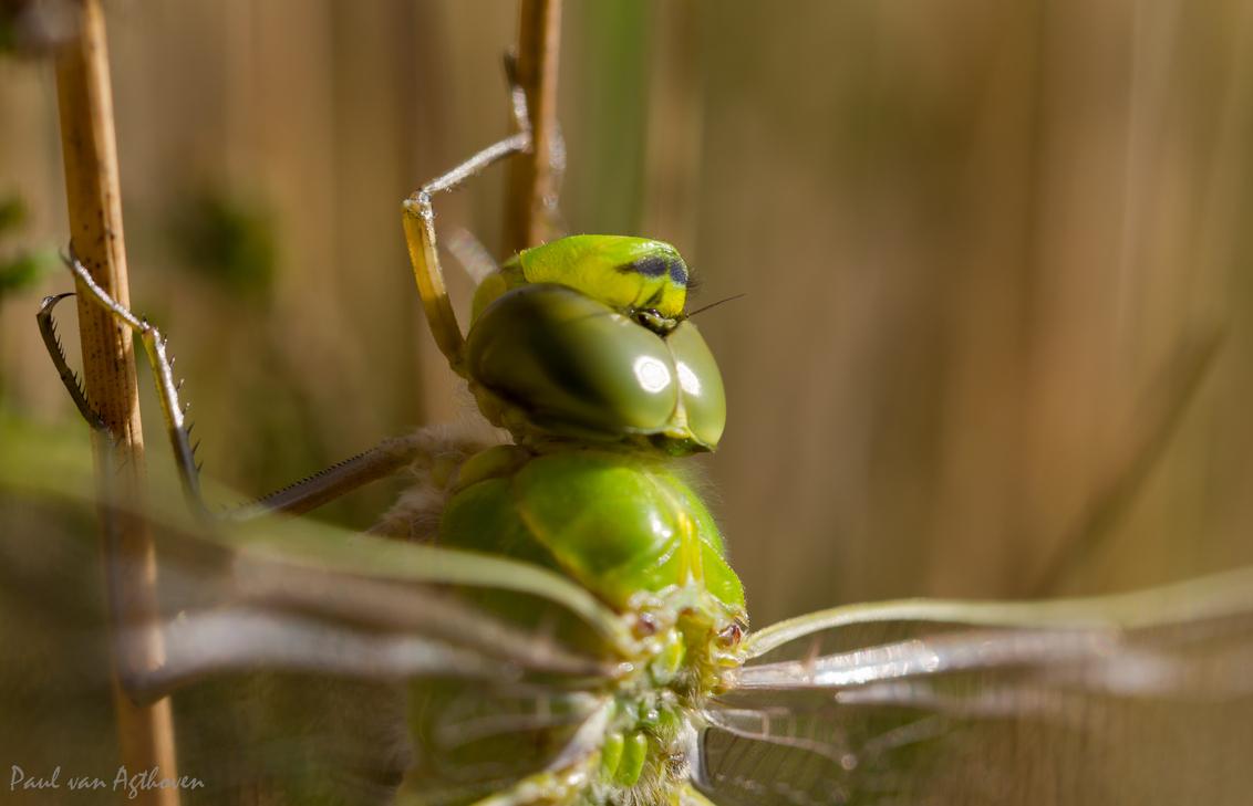 Dragonfly - Zat rustig op te warmen in de zon. - foto door Paulv8hoven op 27-05-2014 - deze foto bevat: groen, macro, zon, lente, natuur, libel, insect