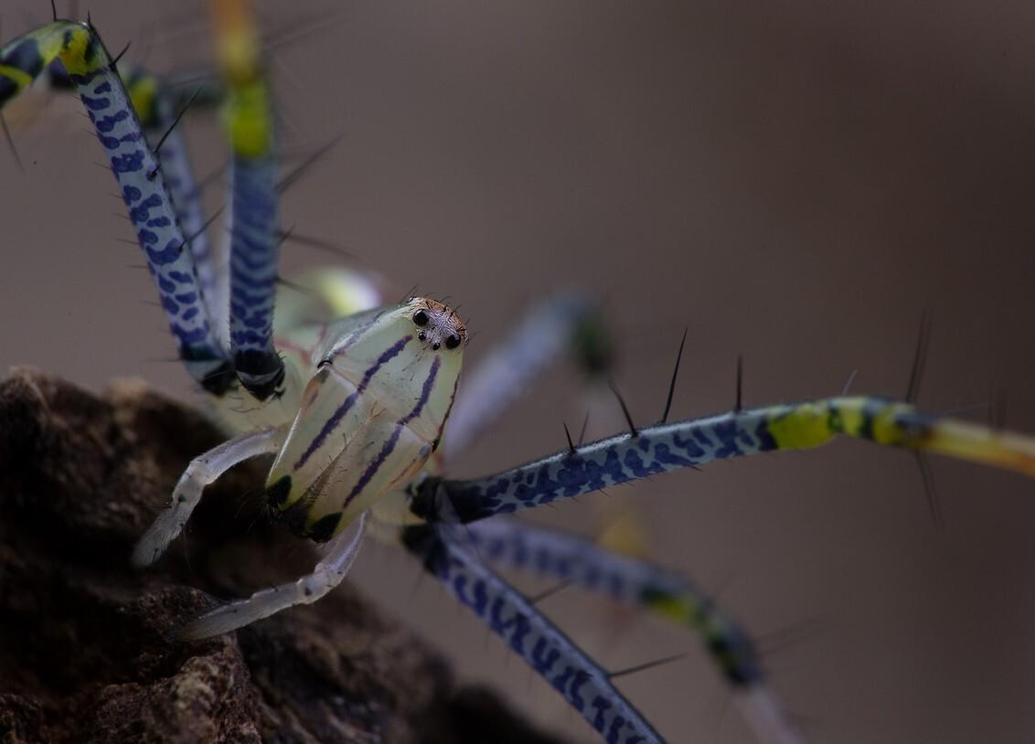 van dichtbij - spin heeft een jasje uitgetrokken en is weer een beetje groter gegroeid..tijd voor een mega close up..en dat is best lastig ..niet dattie niet meewer - foto door dylano op 28-12-2018 - deze foto bevat: groen, macro, blauw, spin, insect, dylano