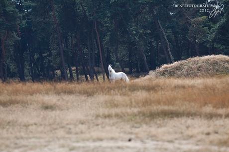 White fairytail horse