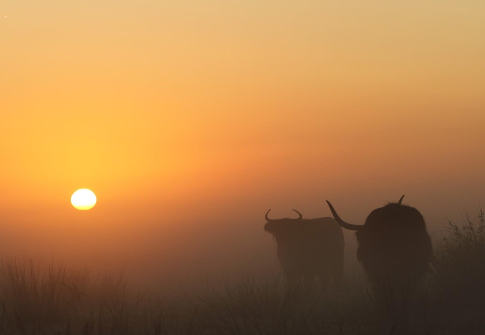 Schotse Hooglanders - Schotse Hooglanders in dichte mis tijdens zonsopgang - foto door peterheegen op 07-03-2021 - Deze foto mag gebruikt worden in een Zoom.nl publicatie