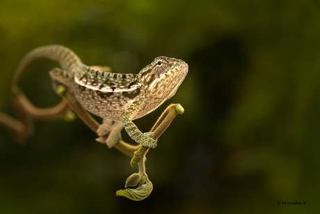 tapijtkameleon