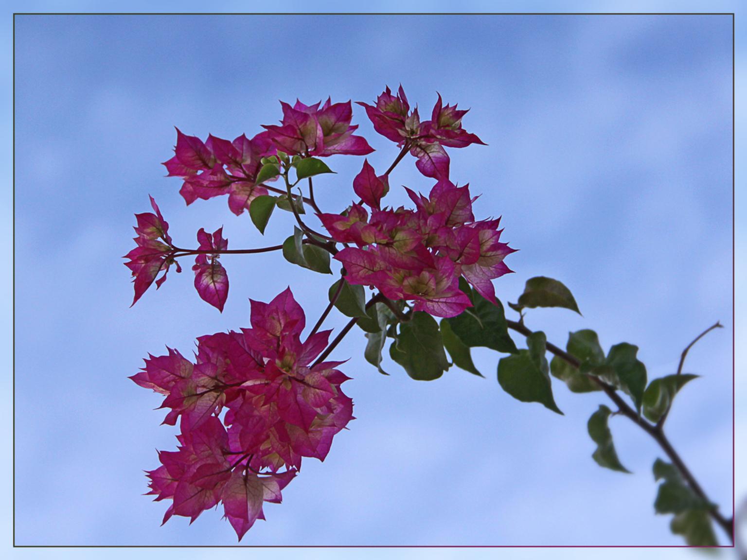 Buganvilla - ( bougainvillae spectabilis ) Welk een aangename verrassing te zien dat ook in december er overal nog dergelijke frisse mooie onverlepte bloemmetjes - foto door kosmopol op 03-01-2012 - deze foto bevat: bloem, kosmopol