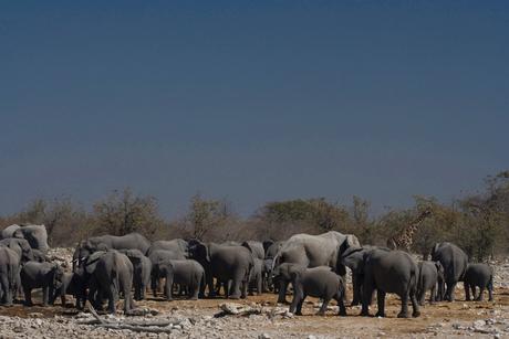 Olifanten bij drinkpoel