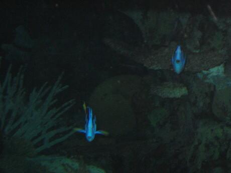 Blauwe vissen