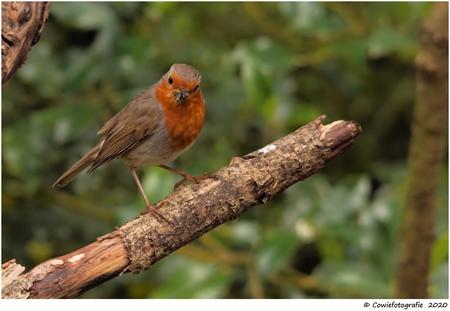 Roodborstje - Alvast bedankt voor jullie reactie's.  Gr, Johannes - foto door cowiefotografie op 17-06-2020 - deze foto bevat: natuur, roodborstje, dieren, vogel, wildlife