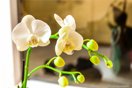 Orchidee_HDR