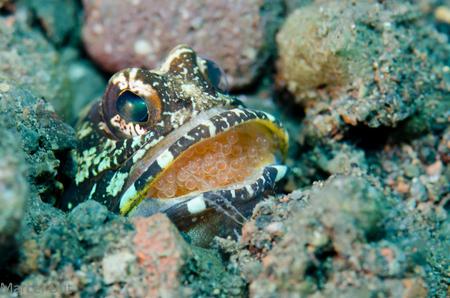 Kaakvis - Jawfish - Deze (mannetjes) kaakvis beschermt zijn eitjes en jongen door ze, voor 8 tot 10 dagen, in zijn mond te houden - foto door marcelout op 09-10-2013 - deze foto bevat: onderwater, bali, duiken, eitjes, kaakvis, jawfish