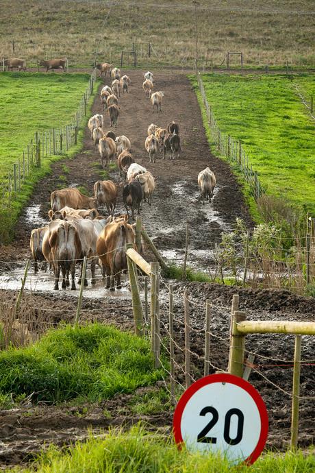 Maximum snelheid voor koeien