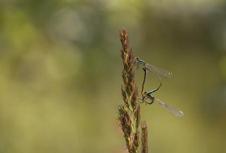 Paringswiel...flash back (13) - Langs de waterkant is er ook heel wat leven te bespeuren, o.a. vele juffers en libellen. Vaak in zogenaamde tandemhouding. Eenmaal een rustig plekje  - foto door franspelzer op 29-01-2021 - deze foto bevat: groen, macro, lantaarntje, juffer, natuur, waterjuffer, zomer, insect