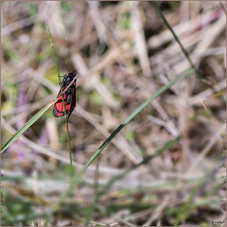 Vroege vlinder - Ook dit was een heel klein vlindertje,de naam weet ik niet,heel onrustig,kon hem niet beter in beeld krijgen,vloog goed beschut tussen het duinengras - foto door luc43 op 15-05-2015 - deze foto bevat: vlinder, duinen, duingras, zeebrugge