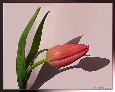 Tulpje...