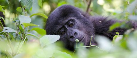 Nkuringo mountain gorilla