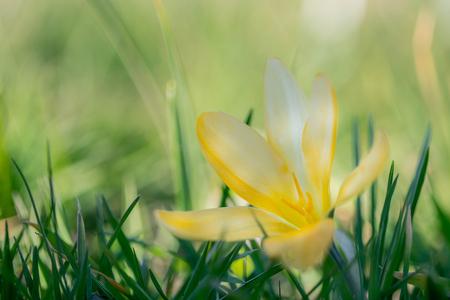 Gele krokus - Krokus in bloei - foto door ErikV74 op 14-03-2021 - deze foto bevat: groen, macro, bloem, lente, natuur, geel, licht, tuin, tegenlicht, dauw, dof, bokeh