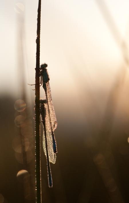 Samen opwarmen - Juffers met dauw op zijn lichaam. Is in het vroege ochtend licht aan het opdrogen. - foto door jvos1972 op 05-06-2011 - deze foto bevat: juffer, dauw