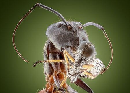 Mier met roofvliegje als prooi.. - ik heb 237 fotos samengevoegd doormiddel van focusstacking met de canon6D en de canonmpe65mm   iso 200 f7.1 1/125 - foto door marcojongsma op 02-07-2020 - deze foto bevat: macro, wit, natuur, vlieg, licht, oranje, zwart, roofvlieg, mier, tegenlicht, zomer, insect, dof, bokeh, focusstacking, focus stacking, extrememacro