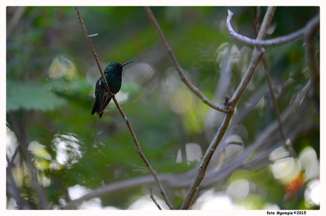 Groene kolibri