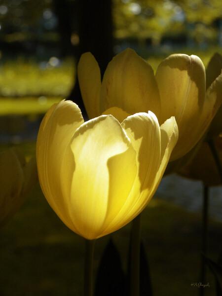In the spotlight - Het is voor mij altijd een doel om wat dan ook ik probeer te fotograferen, veel licht contrast te vinden,  met deze tulp was het aardig gelukt  :) - foto door eagleheart op 22-07-2014 - deze foto bevat: bloem, lente, geel, licht, voorjaar