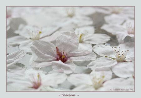 Bloesem - Tere witte bloemetjes, heel even aan de boom.  Tere witte bloemetjes, geven een heerlijke geur.  Tere witte bloemetjes, we mogen heel even gen - foto door nicole-8 op 11-04-2009 - deze foto bevat: wit, bloem, lente, rose, voorjaar, canon, bloesem, teer, nivas, eos450d