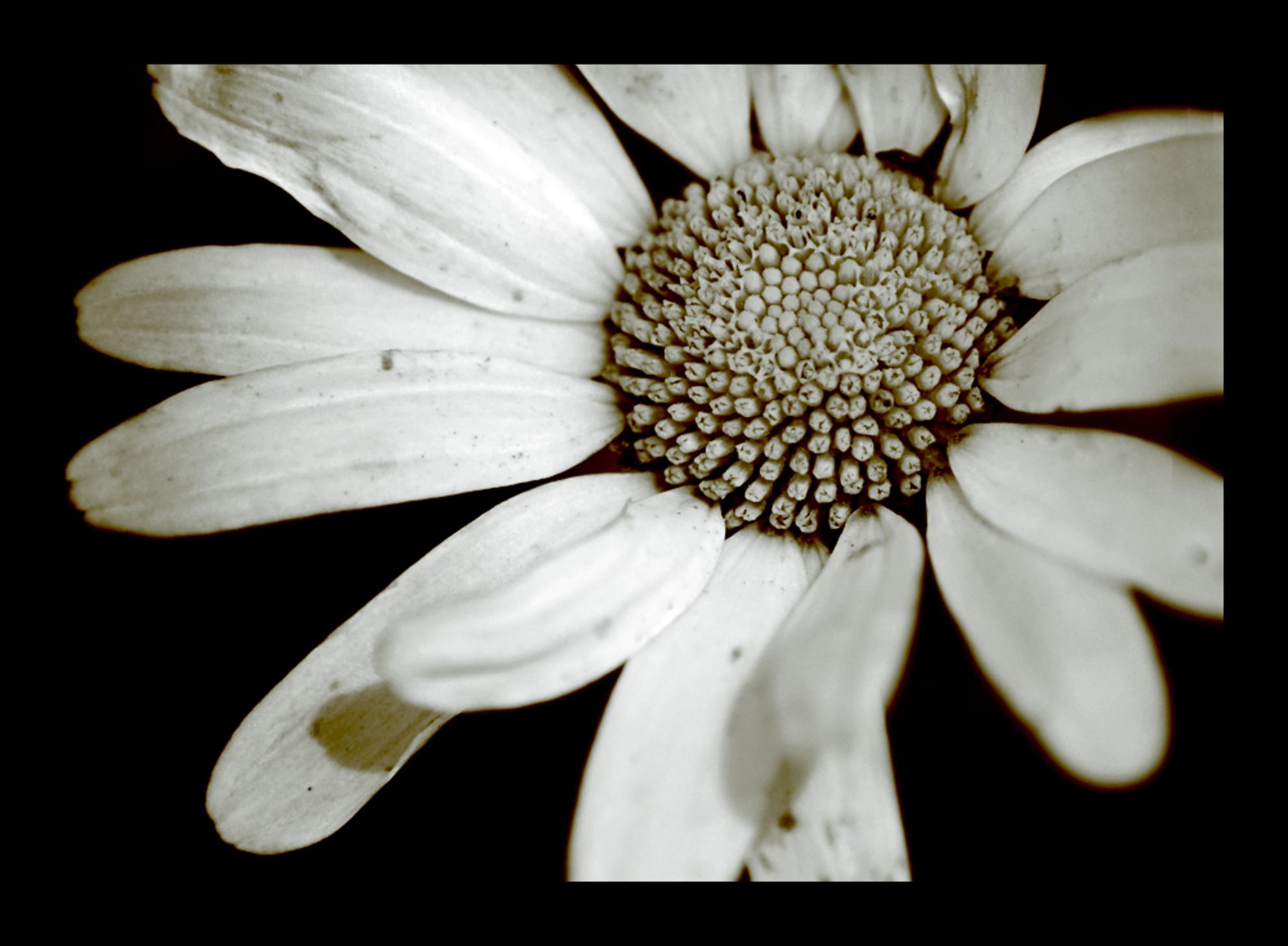 O l d F l o w e r - In photoshop met de kleuren gespeeld.. dit is wat ik eruit gekregen heb..   bedankt voor de vorige reacties.. en nog een fijne avond..  Gr. Linda - foto door @Linda op 06-07-2008 - deze foto bevat: macro, bloem, close-up, -linda - Deze foto mag gebruikt worden in een Zoom.nl publicatie