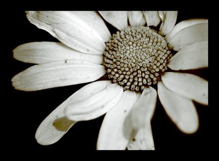 O l d F l o w e r - In photoshop met de kleuren gespeeld.. dit is wat ik eruit gekregen heb..   bedankt voor de vorige reacties.. en nog een fijne avond..  Gr. Linda - foto door @Linda op 06-07-2008 - deze foto bevat: macro, bloem, close-up, -linda