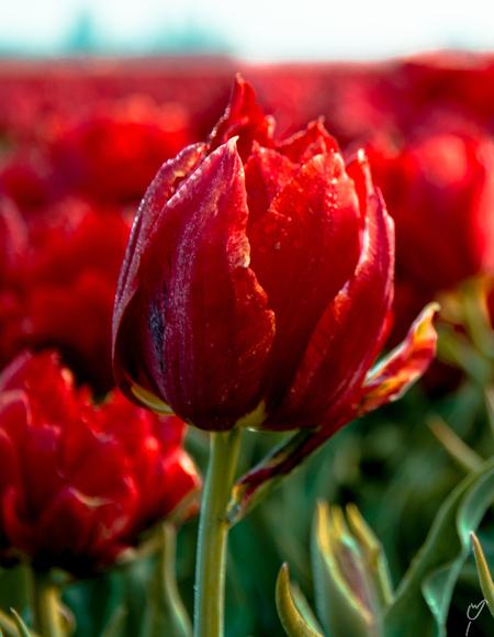 crop it like it's hot 2 - - - foto door wardkeijzer op 26-03-2020 - deze foto bevat: roze, groen, rood, macro, zon, bloem, lente, natuur, geel, licht, rijp, tulp, ijs, dauw, dof, strijklicht, tulpenveld