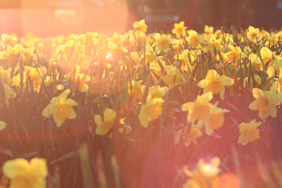 Narcis - Narcis - foto door janwillemzuidema op 29-04-2013 - deze foto bevat: lente, narcis, avondzon, voorjaar