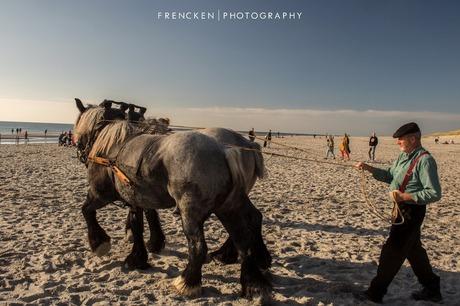 Trekpaarden in westenschouwen