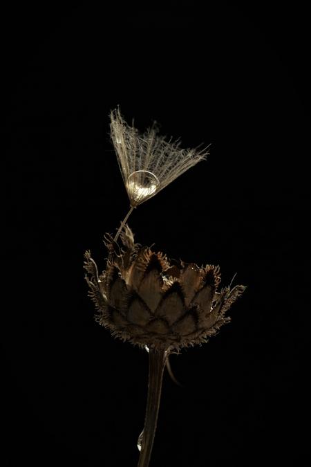 _2 balanceren - Een waterdruppel op zaadpluis van een morgenster balancerend op knoopkruid. - foto door dorotheedemulder op 07-02-2021 - deze foto bevat: pluiszaad van een morgenster balanceert met een waterdruppel