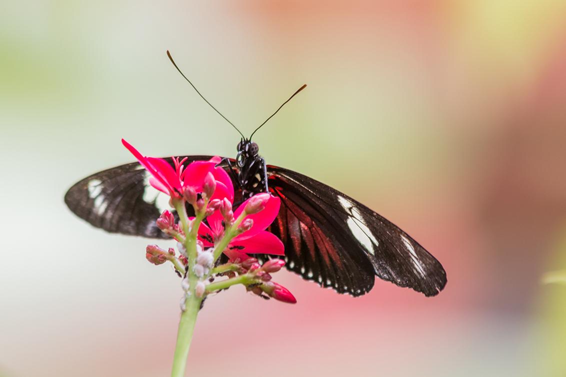 Vlinder - Bedankt voor de vorige reacties. - foto door john68 op 30-06-2017 - deze foto bevat: bloem, vlinder, licht, zomer, insect, dof