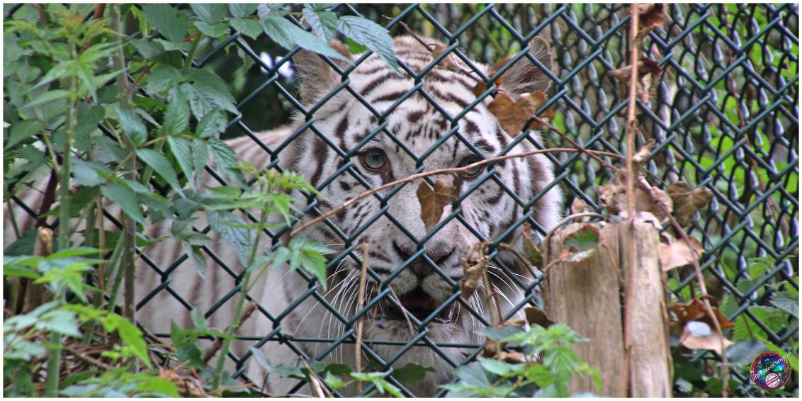 Iets dichterbij ... - - - foto door willemdanker op 11-01-2019 - deze foto bevat: dierentuin, ogen, tijger, amersfoort