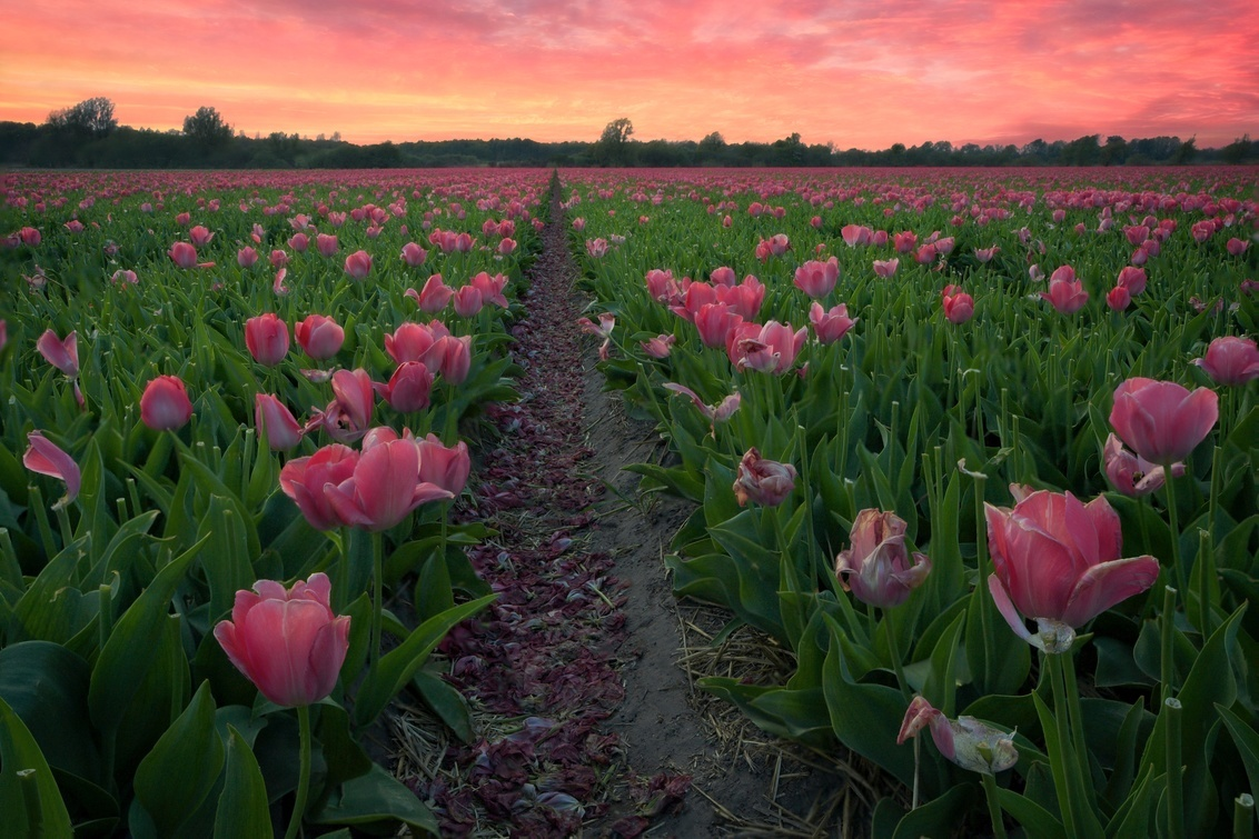 Pinky Tulips 2 - This is one of the shots of the 2019 tulips/flowers' shots. Living in the Netherlands is great during spring. The national pride is at its best. All  - foto door lcutolo op 05-05-2019 - deze foto bevat: sunset, pink, yellow, flowers, landscape, purple, white, hdr, sony, tulips, tulip, blomen, netherlands, saturation, vignette, tlp, greenhouse, flickr, focus stacking, high contrast, Dutch landscape, ngc, digital blending, orange sky, world trekking, world trekker, perfect effect, one software, holland scape, onone, luca cutolo, purple sunset sky, dutchscape, sony a7iii, raw 2019, orange sunset, pinky tulips, pink sunset orange sky