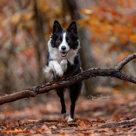 Autumn in the woods - Knappe border collie Jazz voor de lens voor actie fotografie. Mooie herfstkleuren maken het geheel wel af. - foto door madcorona op 10-01-2020 - deze foto bevat: hond, sprong, hondenfotografie, Border Collie, border collies, agillity
