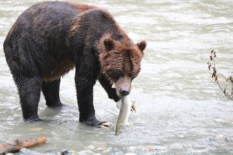 Grizzly Beer die zalm vangt