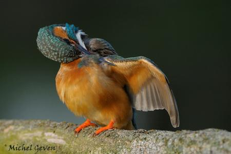 Jeuk - IJsvogeltjes blijven leuke vogeltjes om te volgen en te fotograferen. Deze zat zich zonder enige schaamte uitgebreid te poetsen... D300 200-400VR, s - foto door michelgeven op 26-12-2008 - deze foto bevat: vleugel, ijsvogel, poetsen, wing, alcedo, atthis, preening