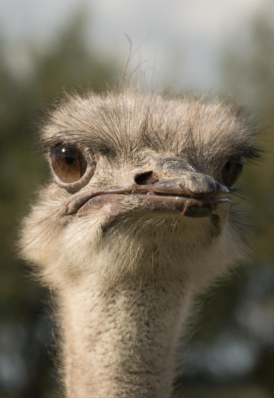 Look ad me - Bezoekje gebracht bij een struisvogel boerderij in Sluis op Zeeuws vlaanderen. - foto door goldie49 op 04-10-2018 - deze foto bevat: dieren, safari, vogel, artis, afrika