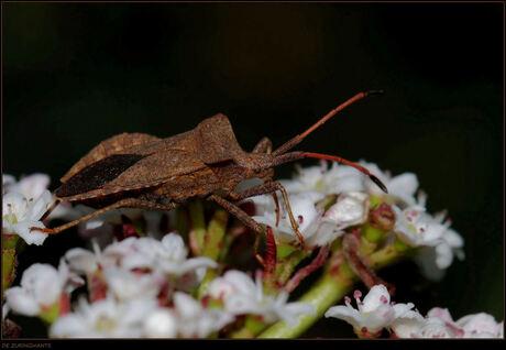 De nectar opzuigende zuringwants.