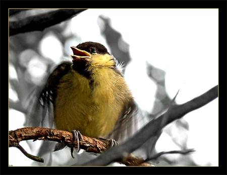 Feed Me! - Dit kleintje zat een weekje geleden bij ons in de tuin. Een slim klein koolmeesje. Hij heeft wel een klein uurtje op hetzelfde takje gezeten,  wach - foto door daniel44 op 21-05-2007 - deze foto bevat: eten, klein, vleugels, dieren, veren, vogel, koolmees, me, tak, jong, snavel, daniel44, feed