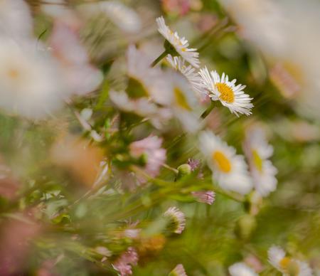 veld boeket - Weet je nog dames...waar we de hoofdtooien mee maakten. groetjes Detty - foto door dettyverbon op 21-05-2014 - deze foto bevat: macro, bloem, natuur, madeliefjes