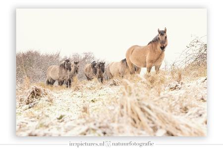 Leader of the pack - Door het kiezen van een extreem laag standpunt lijkt het voorste paard op een heuveltje te staan wat in werkelijkheid niet zo was. Door het standpunt - foto door in2picturesnature op 20-01-2021 - deze foto bevat: natuur, paarden, sneeuw, winter, paard, dieren, landschap, standpunt, konikpaard