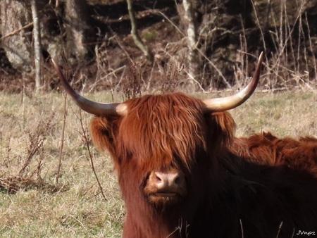 Kiek e boe - - - foto door Vissernpz op 28-02-2021 - deze foto bevat: koe, dieren, schotse hooglander