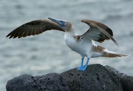 Blauwvoet gent op Galapagos