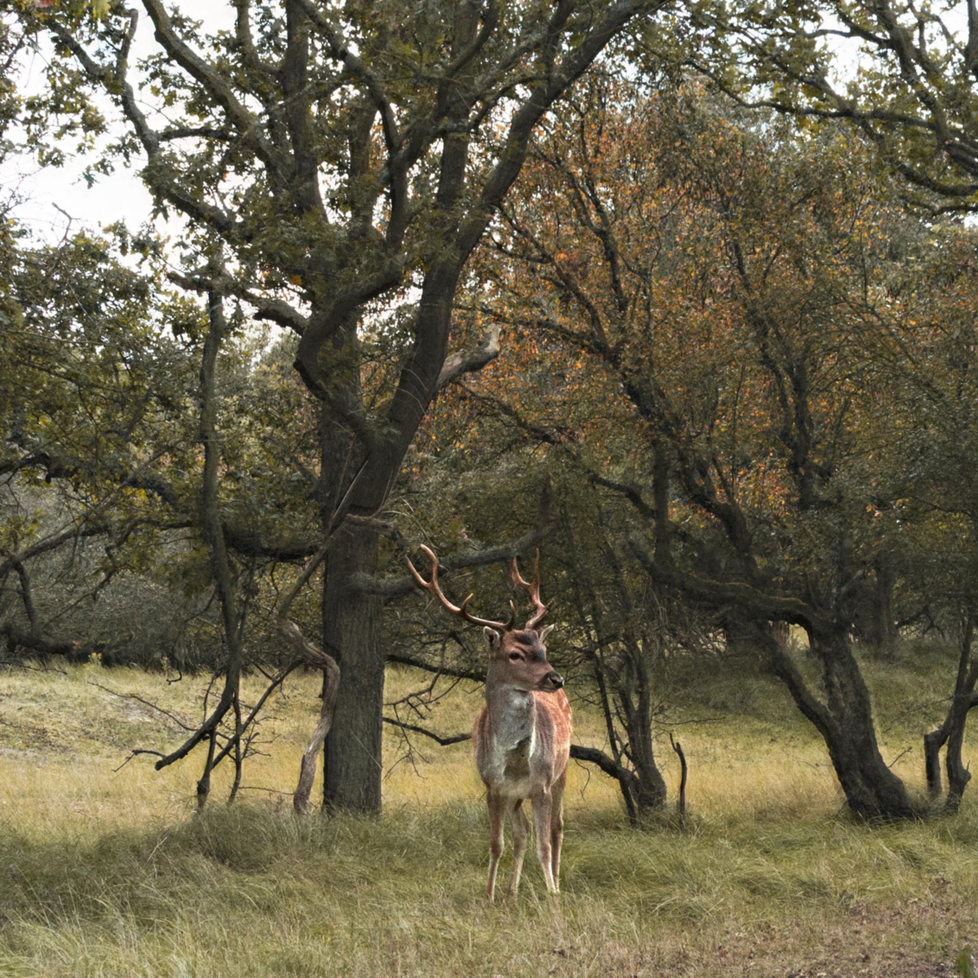 Hert - Prachtig hert - foto door LisaVollebregt op 22-07-2015 - deze foto bevat: boom, natuur, licht, herfst, dieren, landschap, duinen, bos, nederland - Deze foto mag gebruikt worden in een Zoom.nl publicatie