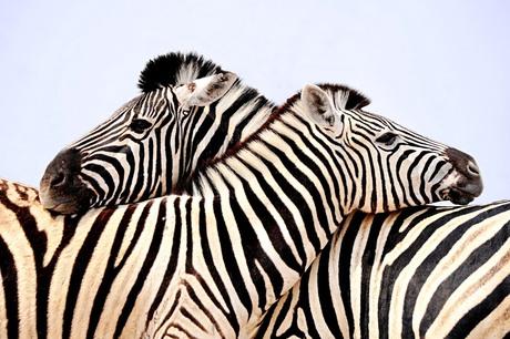 zebra's knuffelen