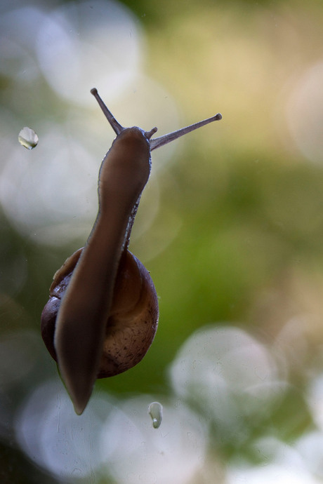 Slakkengangetje