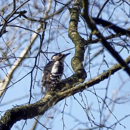 Bonte specht! - Plotseling zag ik hem zitten hoog in de boom. De bonte specht! (vrouwtje)  - foto door WMeijerink op 14-04-2021 - deze foto bevat: vogel, bontespecht, natuur, vogelfotografie, natuurfotografie, lucht, vogel, fabriek, takje, afdeling, kofferbak, boom, veer, bek, dieren in het wild
