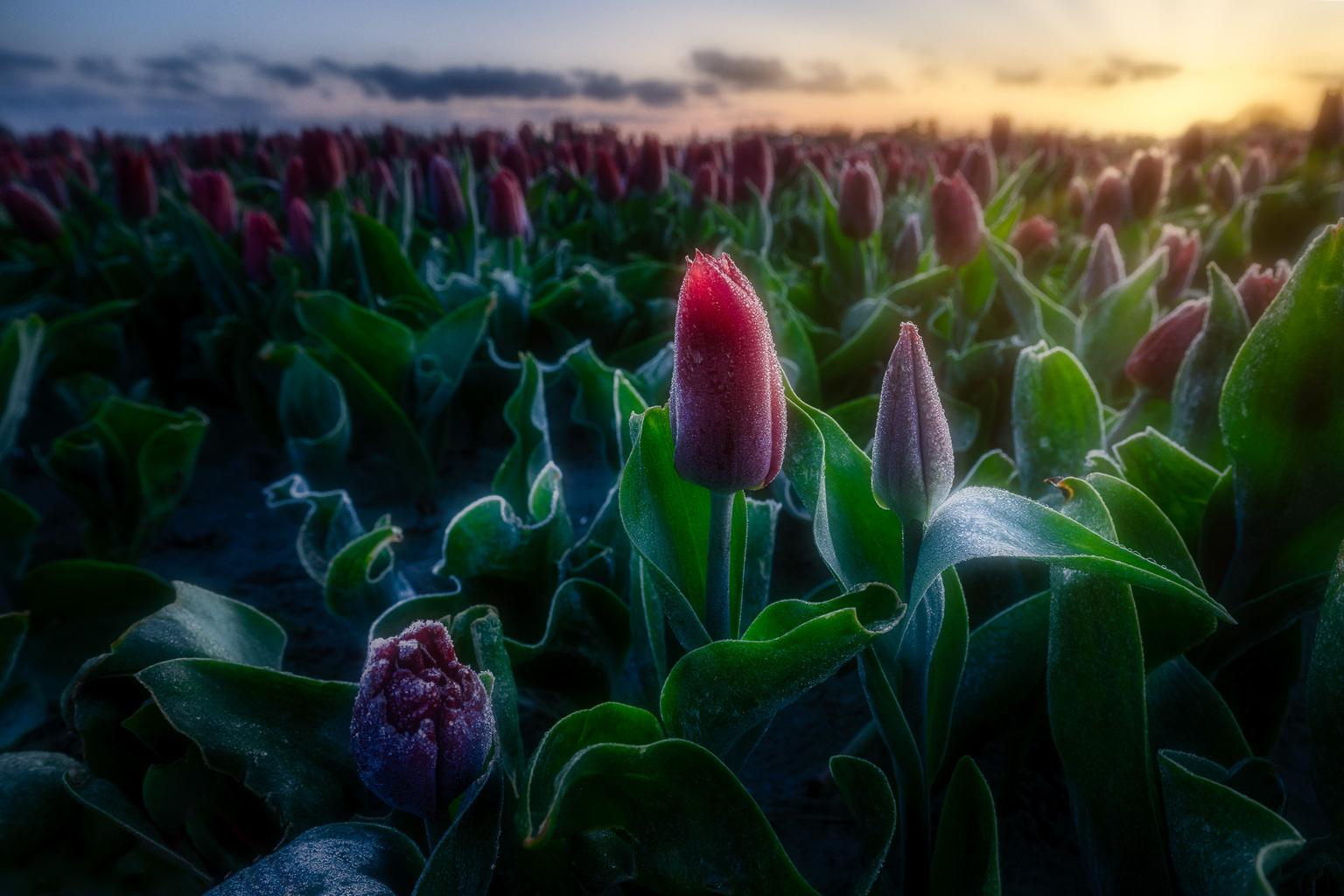 Tulpen Goeree-Overflakkee  - Het was koud waardoor er een dun laagje ijs op de tulpen zaten. Lucht was niet zo interessant waardoor ik voor een lage compositie heb gekozen.  - foto door vandenberg.bjj op 14-04-2021 - locatie: Goeree-Overflakkee, Nederland - deze foto bevat: tulpen, goeree-overflakkee, hollandslandschap, bloem, fabriek, lucht, bloemblaadje, plantkunde, natuurlijk landschap, terrestrische plant, zonlicht, landbouw, gras