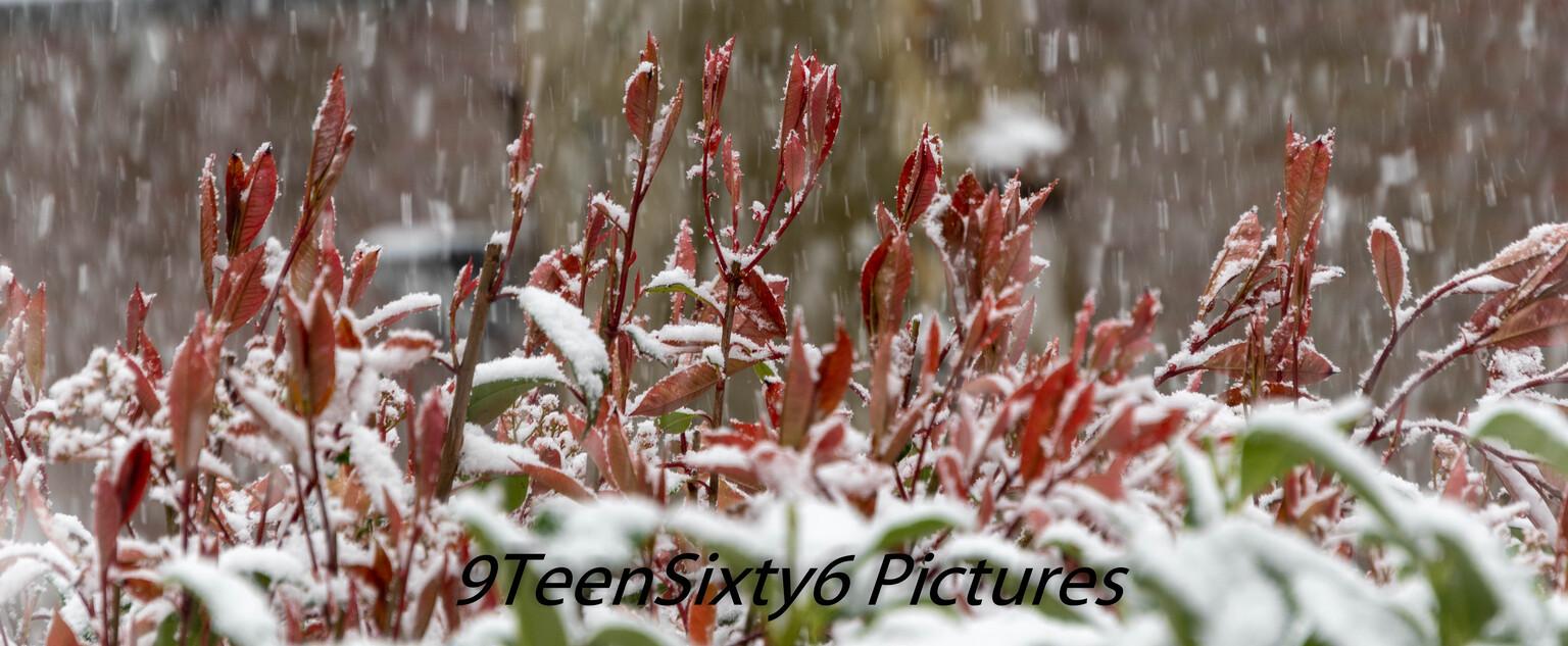 Winter in de Lente - April, na een paar zonnige dagen met temperaturen tot wel 25 graden werden we verrast met een  heuse winterse sneeuwbui wat al snel mooie plaatjes op - foto door 9TeenSixty6 op 12-04-2021 - locatie: Maastricht, Nederland - deze foto bevat: lente, winter, natuur, voorjaar, fabriek, sneeuw, takje, terrestrische plant, bevriezing, bloem, gras, struik, bloeiende plant, grass familie