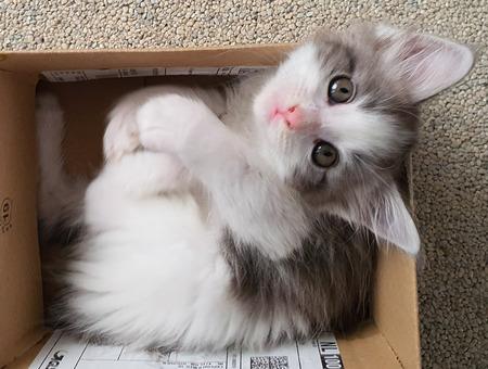 Maine coon kitten Dex  - Ik pas er nu nog in - foto door schaiky op 16-04-2021 - locatie: 2133 KX Hoofddorp, Nederland - deze foto bevat: maine coon, kitten, kat, huisdier, wit, kat, felidae, carnivoor, kleine tot middelgrote katten, bakkebaarden, fawn, snuit, poot, vacht, staart